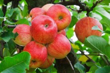 apple-20792_640