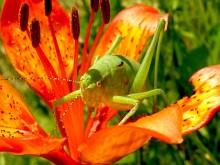 grasshopper-99555_640